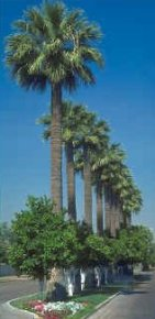 Cold hardy - mexican fan palm trees