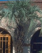 Large Butia capitata covering the entrance of a building.