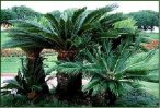 Sago Palm Trees clustering together