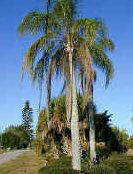 Cold Hardy Queen Palm Tree Picture