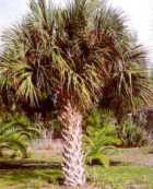 Texas Sabal Palm tree picture