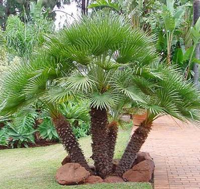 Mediterranean (European Fan Palm