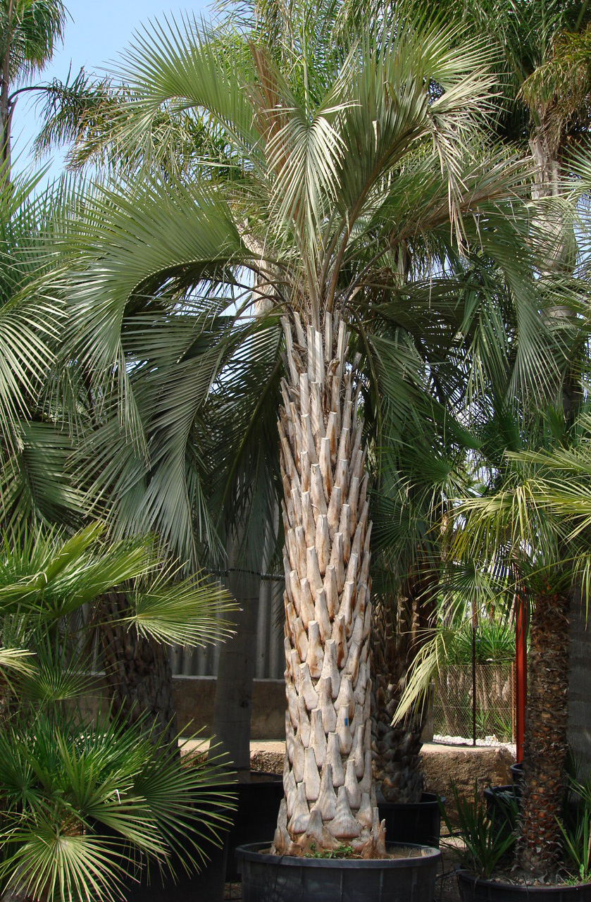 Pindo Palm Tree Covering the outside of a building