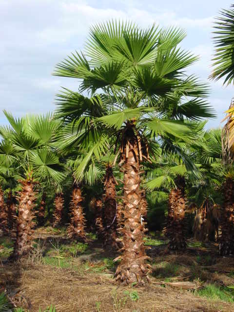 Mexican Fan Palm in prisitne condition