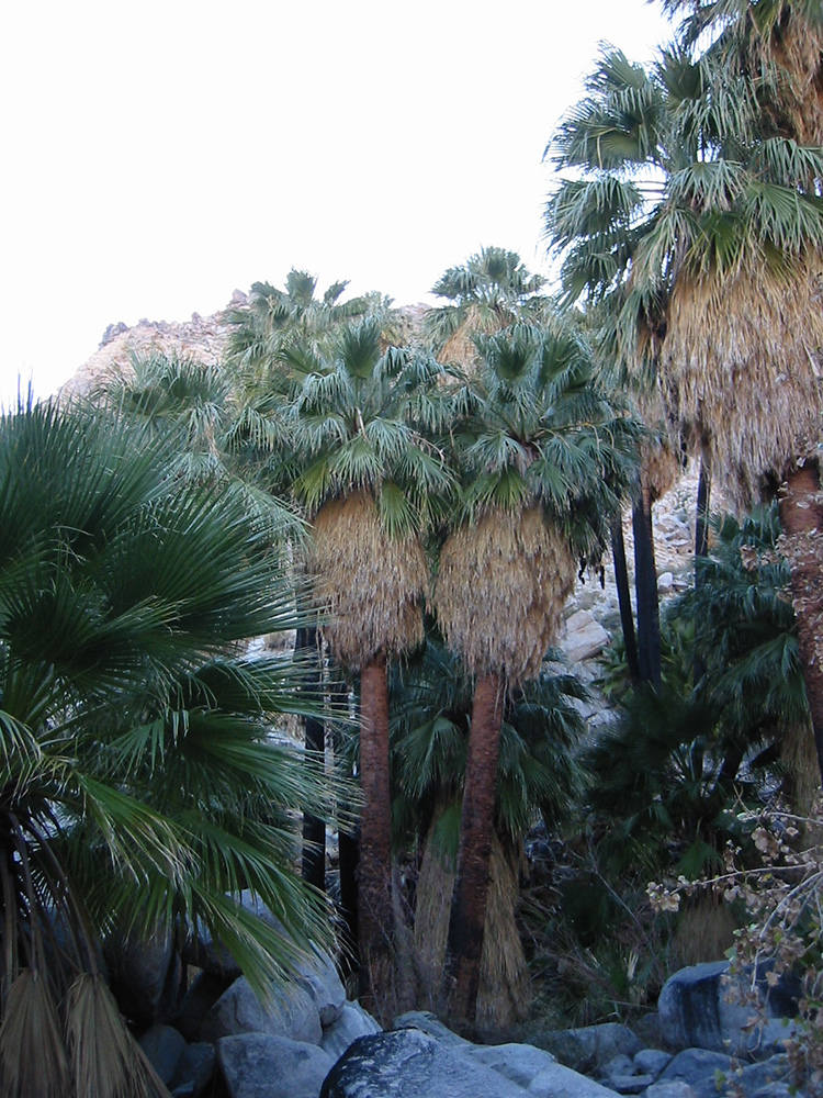 California Fan Palms picture