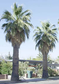 http://www.sunpalmtrees.com/gallery/California_Fan_Palms_1-4.jpg