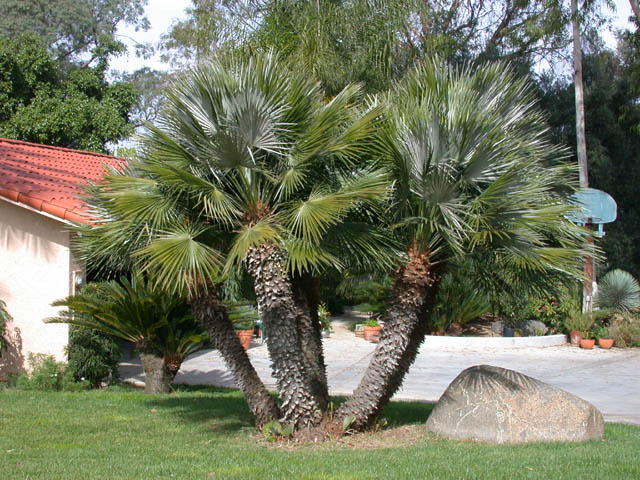 Mediterranean European Fan Palm Tree Pictures