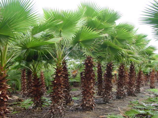 pictures 1 2 mexican fan palm medium palm tree 239 95 retail price 287