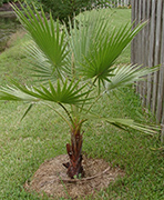 Young Mexican Fan Palm Picture