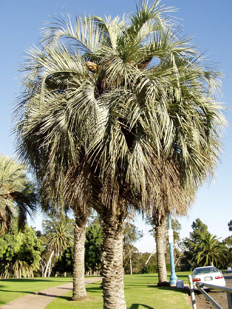 Pindo Palm Trees Pictures