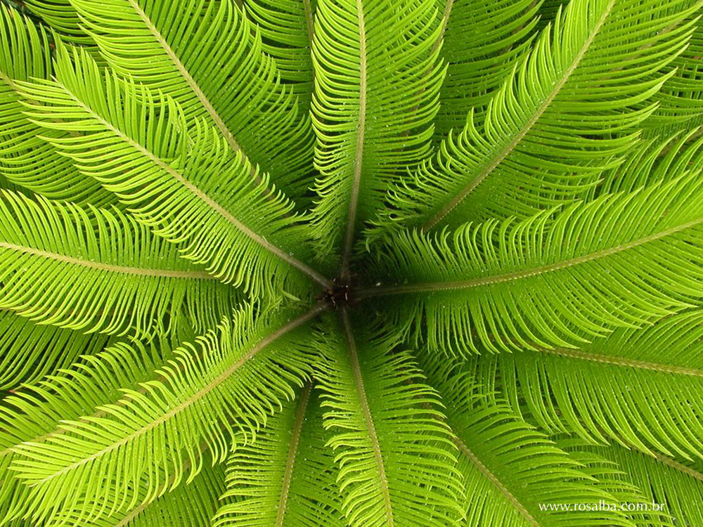 Sago Palm Pictures