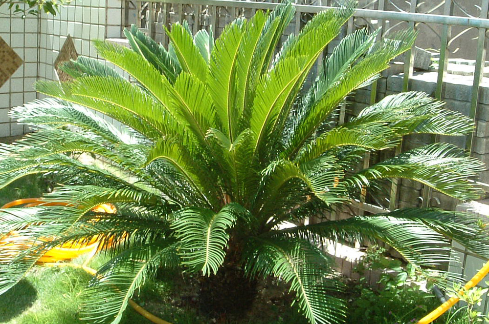 99 sago palms pictures 1 2 sago palm medium 799 95 retail price 959 94