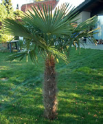 Medium Size Windmill Palm
