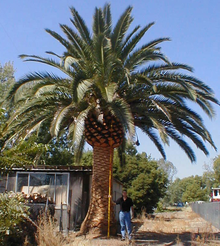 Palm Tree Island: Question For People Familiar With Palms And El Paso