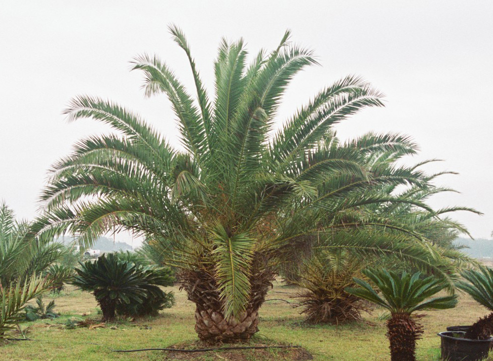 canary date palm tree. Canary Island Date Palm