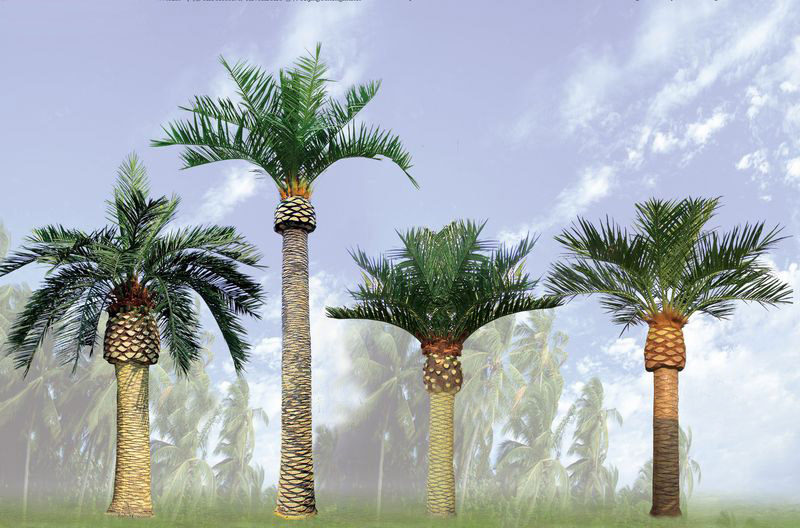 Canary Island Date Palm (Phoenix canariensis) Tree Pictures