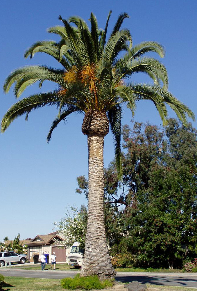 Date palm with clusters of dates