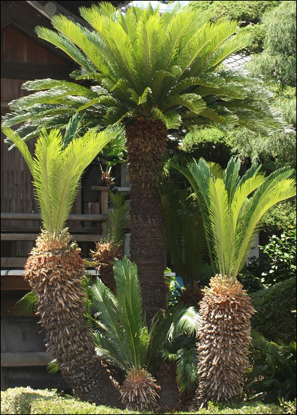 Massive 3 Trunk Sago Palm