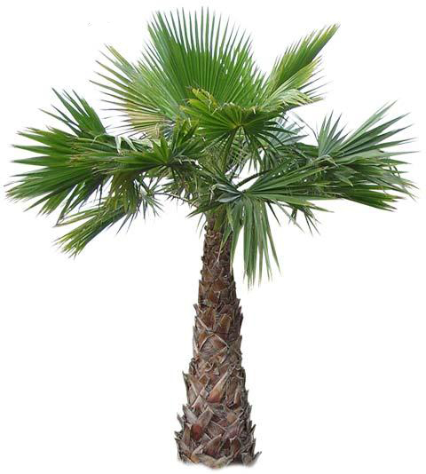 Mexican Fan Palm for Sale